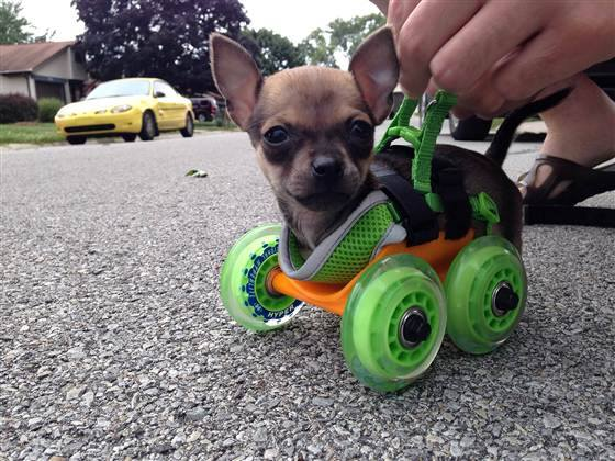 walker 3d printed for crippled chihuahua